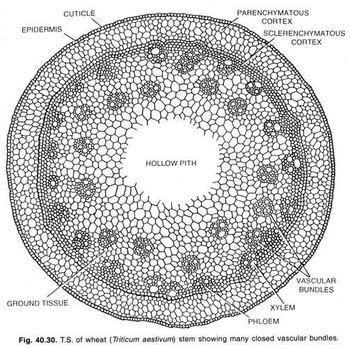Anatomi Batang Dan Anomali Struktur Batang Alponsin