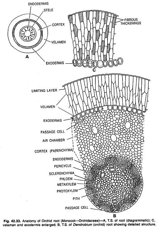 Anatomi Akar Dan Anomali Struktur Akar Alponsin